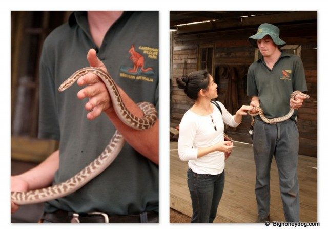 Hsin-Yi meeting a Spotted Python - she loves snakes and even got to stroke him!