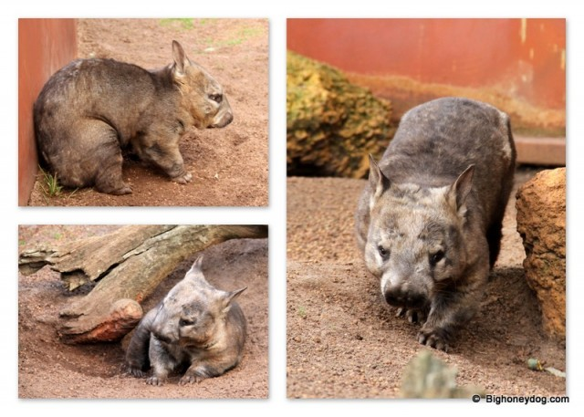 the Southern Hairy-Nose Wombat