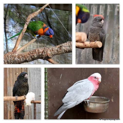 colourful parrots, cockatoos and galahs