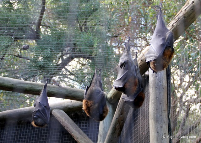 Fruit bats! One of Hsin-Yi's favourites...