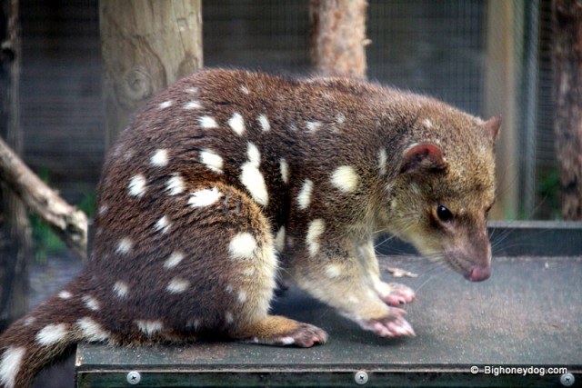 the spotted tail Quoll
