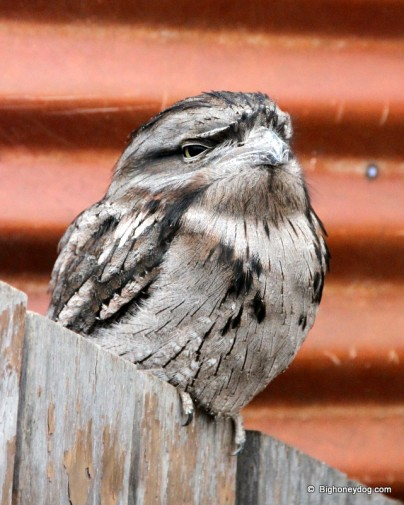 a Tawny Frogmouth - weirdest looking bird ever!!